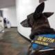 Covid-19 detector dogs